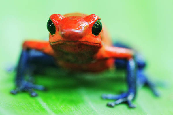 Animal Themes Art Print featuring the photograph Poison Dart Frog by Jeremy Woodhouse