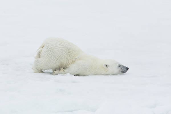 Svalbard Islands Art Print featuring the photograph Polar Bear Cub Stretching Out On Ice by Darrell Gulin