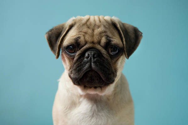 Pets Art Print featuring the photograph Pug Puppy Against Blue Background by Reggie Casagrande