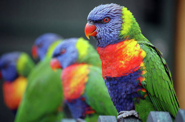 In A Row Art Print featuring the photograph Rainbow Lorikeets On A Perch by Win-initiative