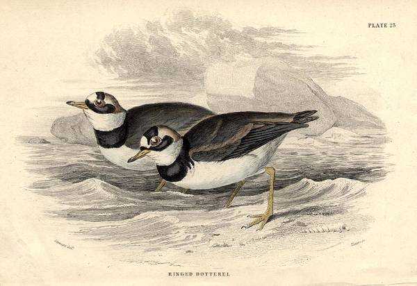Horizontal Art Print featuring the digital art Ringed Dotterel by Hulton Archive
