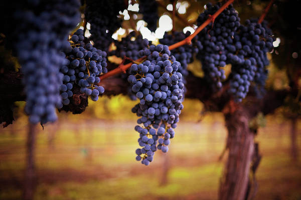 Saturated Color Art Print featuring the photograph Ripe Grapes by Thepalmer