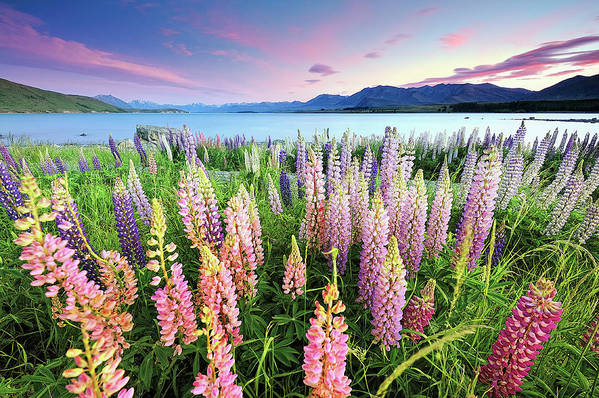 Tranquility Art Print featuring the photograph Russel Lupines At Lake Tekapo by Atomiczen