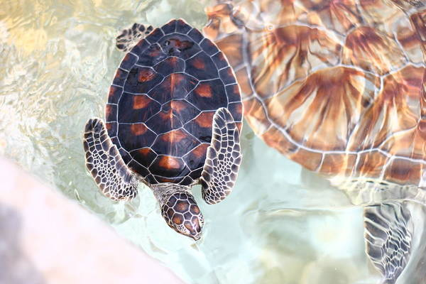 Underwater Art Print featuring the photograph Sea Turtle by Alyssa B. Young