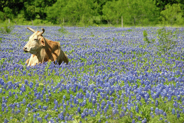 Cow Art Print featuring the photograph Single Cow Resting In A Field Of Texas by Zview