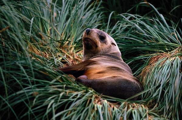 Grass Art Print featuring the photograph Southern Fur Seal Arctocephalus Gazella by Art Wolfe