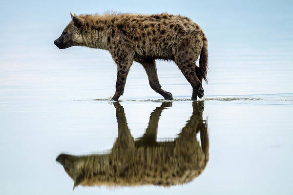 Kenya Art Print featuring the photograph Spotted Hyena Looking For Weak Flamingos by Manoj Shah