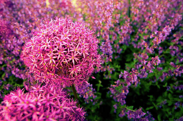 Purple Art Print featuring the photograph Spring Flowers In Garden by Flash Parker