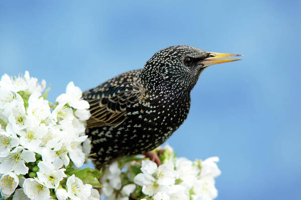 Songbird Art Print featuring the photograph Star In Springtime by Schnuddel
