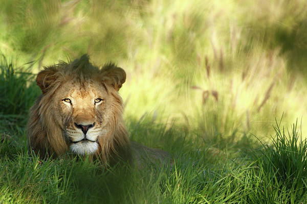 Tropical Rainforest Art Print featuring the photograph Staring Lion In Field Of Grass With by Jimkruger