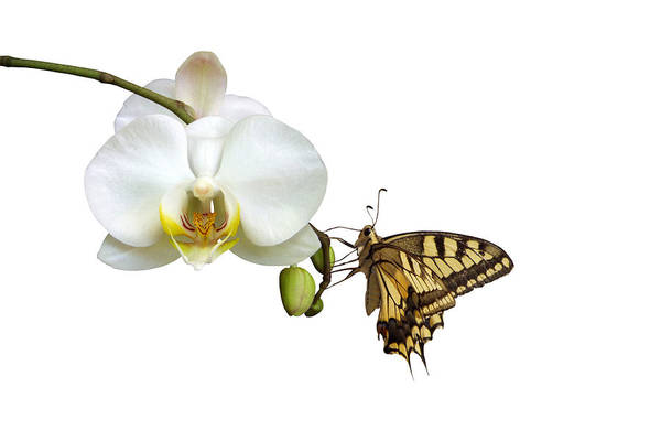 White Background Art Print featuring the photograph Swallowtail On White Orchid by Photographerolympus