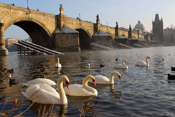 Arch Art Print featuring the photograph Swans And Charles Bridge by Dibrova
