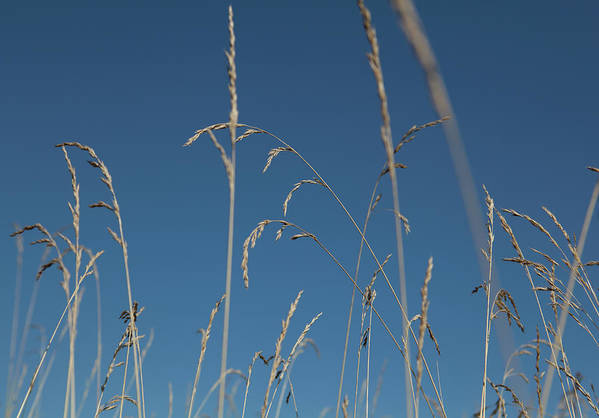 Tranquility Art Print featuring the photograph Tall Grasses Swaying Against A Blue Sky by Lauren Krohn