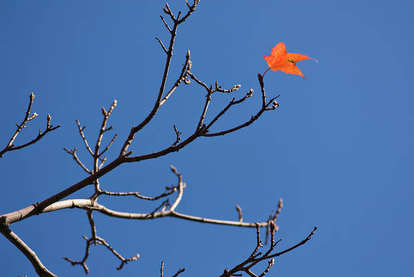 Clear Sky Art Print featuring the photograph The Last Leaf During Fall by By Ken Ilio