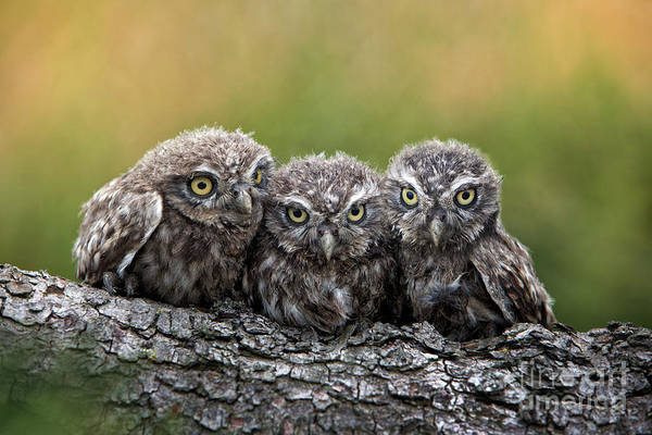Bird Of Prey Art Print featuring the photograph Three Grimly Goblins by Michael Milfeit