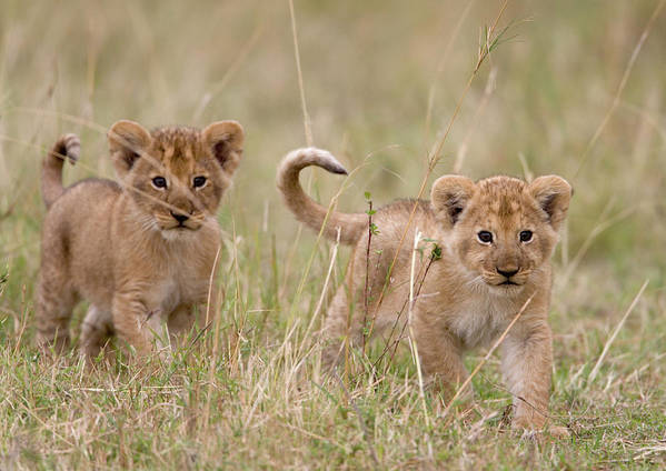 Kenya Art Print featuring the photograph Two Lion Panthera Leo Cubs Walking by Paul Souders