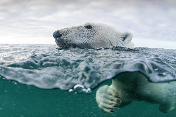 Paw Art Print featuring the photograph Underwater Polar Bear In Hudson Bay by Paul Souders