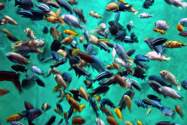 Underwater Art Print featuring the photograph Various Multi-colored African Fish by By Ken Ilio
