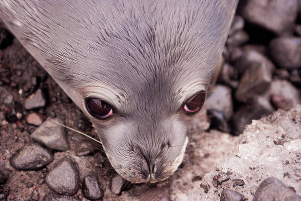 Animal Themes Art Print featuring the photograph Weddell Seal Pup, Antarctica by Mint Images/ Art Wolfe