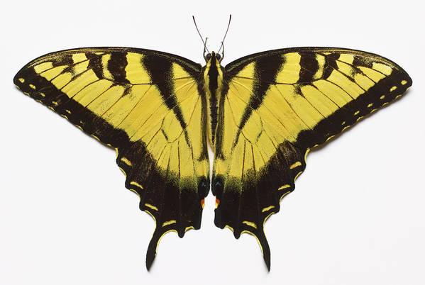 White Background Art Print featuring the photograph Western Tiger Swallowtail Butterfly by Don Farrall