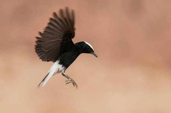 Eilat Art Print featuring the photograph White Crowned Wheatear by Dorit Bar-zakay