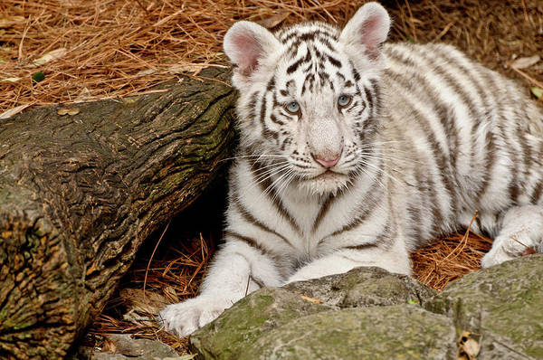 White Tiger Art Print featuring the photograph White Tiger Cub by Empphotography