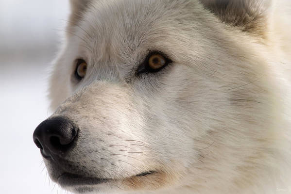 Wolf Art Print featuring the photograph White Wolf Color by Gordon Semmens