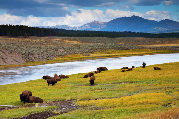 Scenics Art Print featuring the photograph Wild Bison Roam Free Beneath Mountains by Jamesbrey