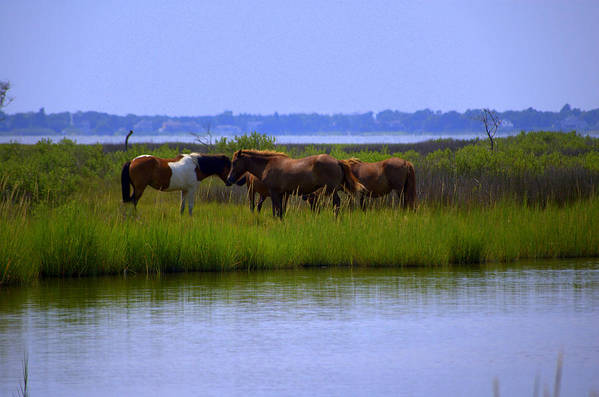 Horse Art Print featuring the photograph Wild Horses Of Assateague Island by Robin Houde Photography