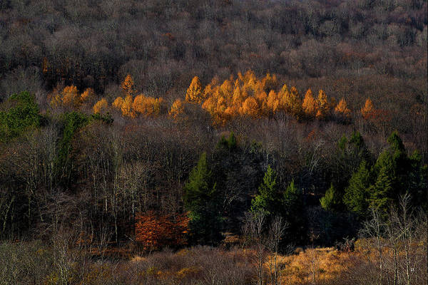 Nature Art Print featuring the photograph Yellow Pine by Tom Romeo