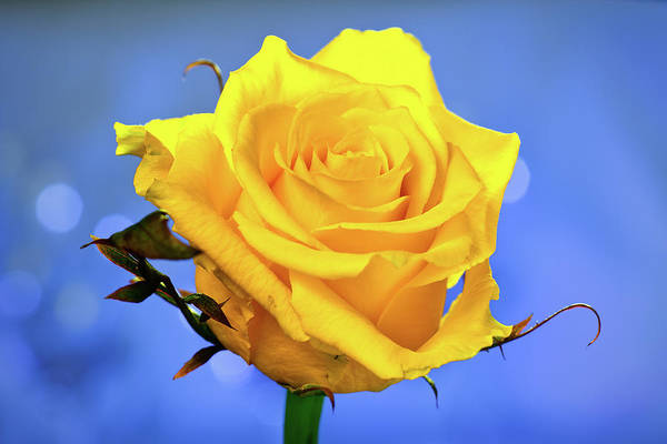 Slovenia Art Print featuring the photograph Yellow Rose by © Karmen Smolnikar