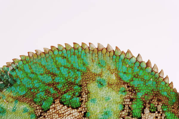 White Background Art Print featuring the photograph Yemen Chameleon, Close-up Of Skin by Martin Harvey