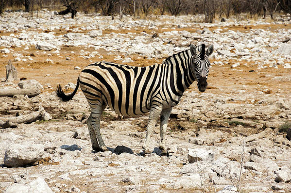Animal Themes Art Print featuring the photograph Zebra And White Rocks by Taken By Chrbhm