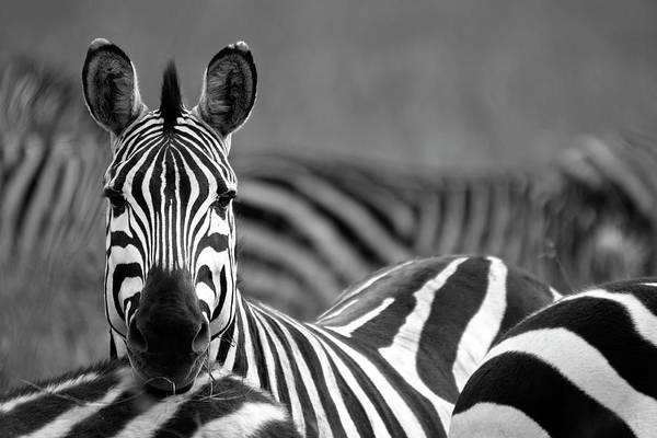 Plains Zebra Art Print featuring the photograph Zebra by Wldavies