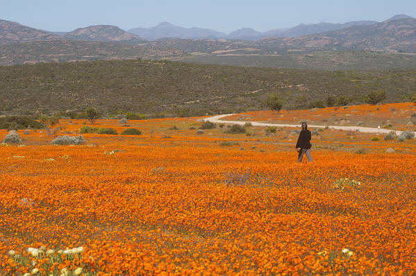 Orange Color Art Print featuring the photograph A lone woman walks through a large field of orange Namaqualand Daisies (Dimorphotheca spp) looking out towards the Kamiesberg mountains, South Africa by Anthony Grote