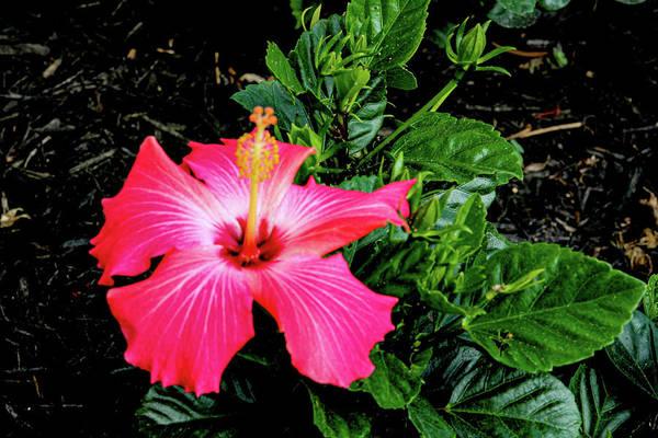 Flower Art Print featuring the digital art La cayena by Daniel Cornell