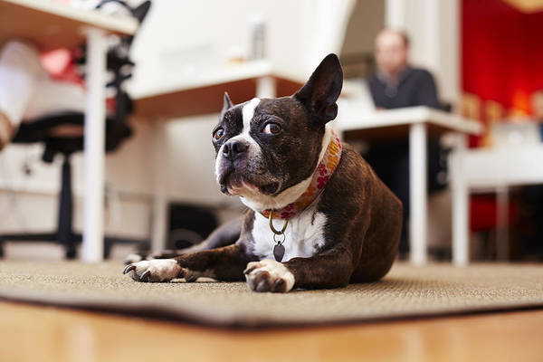 Pets Art Print featuring the photograph Portrait of curious dog lying on rug in an office by Seth K. Hughes