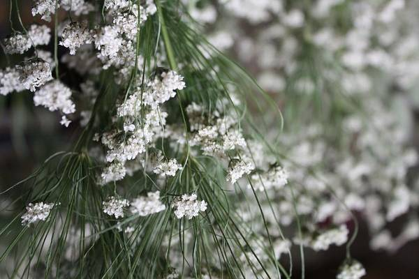 Queen Anne's Lace Art Print featuring the photograph Queen Anne's Lace by Vicki Cridland