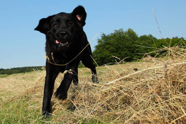 Grass Art Print featuring the photograph Running and jumping hunting black Labrador Retreiver dog in hay by Pejft