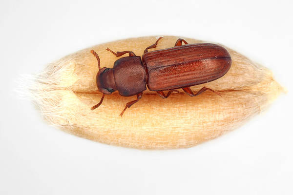 Insect Art Print featuring the photograph The confused flour beetle Tribolium confusum is a type of darkling beetle known as a flour beetle, is a common pest insect in stores and homes known for attacking and infesting stored flour and grain. by Tomasz Klejdysz