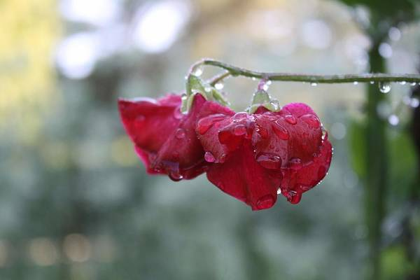 Wine Red Art Print featuring the photograph Wine Red Sweet Pea by Vicki Cridland