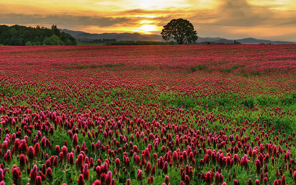 Scenics Art Print featuring the photograph Field Of Crimson Clover With Lone Oak by Jason Harris