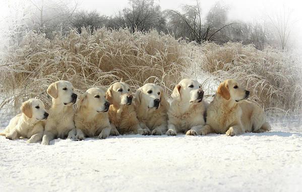 Pets Art Print featuring the photograph Golden Retrievers by Sergey Ryumin