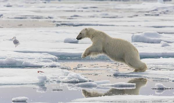 Nis Art Print featuring the photograph Polar Bear Jumping by Peer von Wahl