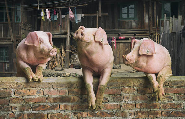 Pig Art Print featuring the photograph Three Pigs Having A Chat In A Remote by Mediaproduction