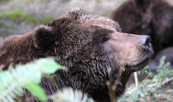 Northwest Trek Art Print featuring the photograph Grizzley - 0010 by S and S Photo