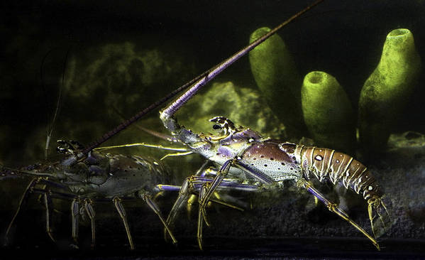 Lobster Art Print featuring the photograph Lobster in Love by Marilyn Hunt