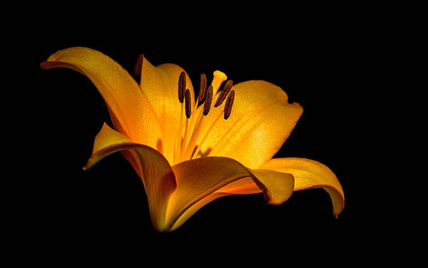 Lilly Art Print featuring the photograph Luminous Lilly by Len Romanick