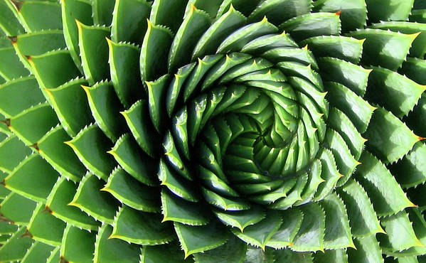 Spiral Art Print featuring the photograph Spiral Plant by Marcus Best