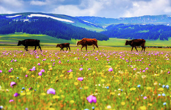 Tranquility Art Print featuring the photograph Cattle Walking In Grassland by Feng Wei Photography